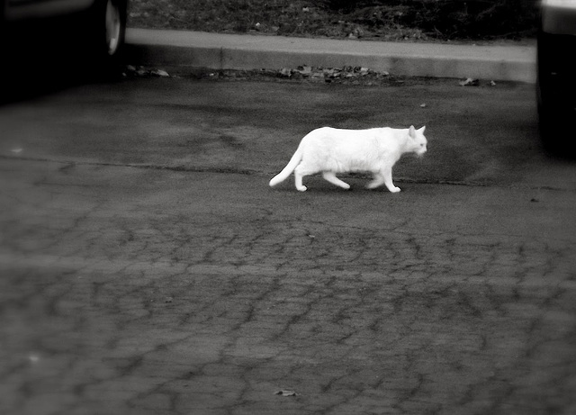 White cat in evening