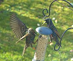 Bickering Starlings