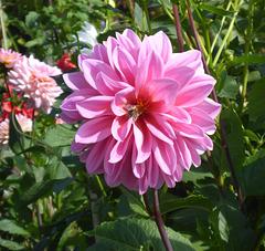 Blüte mit Biene - floro kun abelo