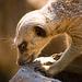 Meerkat two