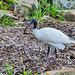 P1260099- Ibis à cou noir (Ibis blanc d'Australie, endémique), jardin botanique - Sydney. 24 février 2020