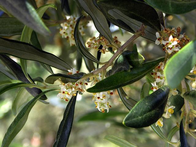 conoscete i fiori dell'ulivo ?