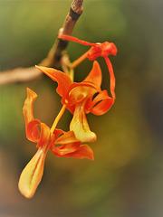 Dendrobium unicum seid. เอื้องครั่งแสด