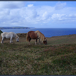 Ponies on Treaga Hill. Nature's lawnmowers in action!