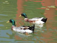 Patos chinos, Jardín Japonés de Buenos Aires