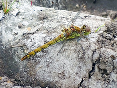 Female Common Darter.  Thank you Phil.