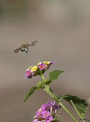 Anthophoridae, Amegilla canifrons