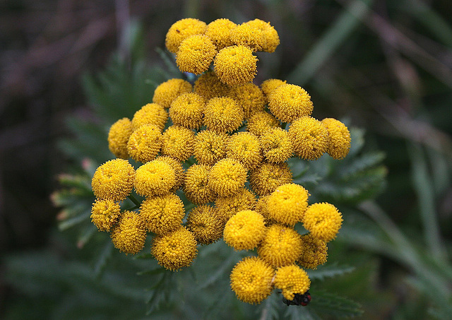 Tansy (Tanacetum vulgare) 26th August 2010