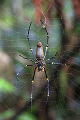 Female Golden Orb Spider