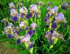 Flower-de-luce