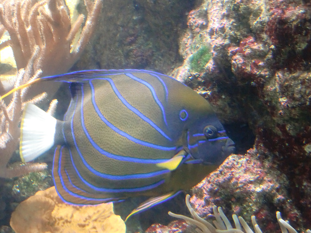 Angelfish, right?
