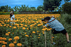 Get photographed in a marigold field