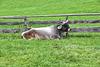 Tiroler Kuh   (2 Pic in Pic)