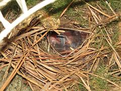 Baby wrens in nest - 19 June