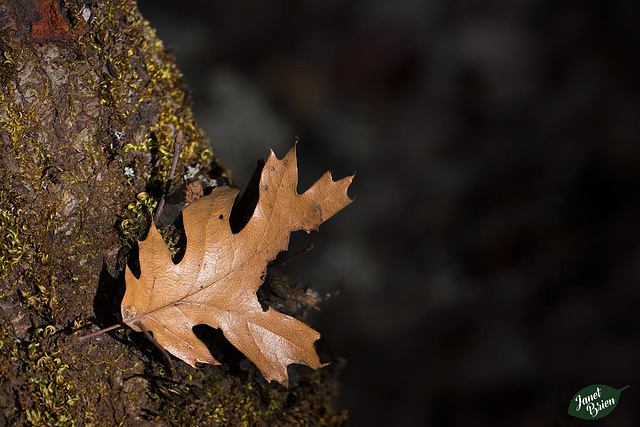Pictures for Pam, Day 34: Black Oak Leaf Stuck on Trunk