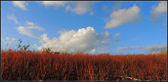 Our Flag / Rumex Acetosa