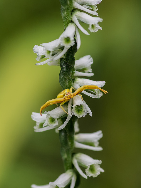 Spiranthes lacera var. gracilis (Southern Slender Ladies'-tresses orchid) with Crab Spider