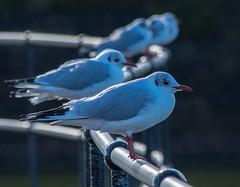 New Brighton gulls