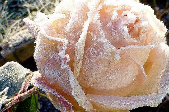 Femme et Rose...
