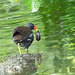 Moorhen which caught a mouse