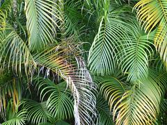 Palmeras de Costa Rica