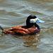 Ruddy Duck male