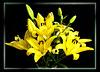 A bouquet of lilies... ©UdoSm