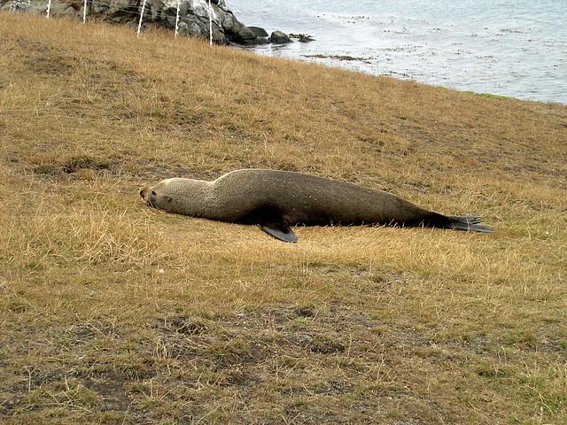 """""""I want to sleep..."""" - sea lion at Katiki Point"""