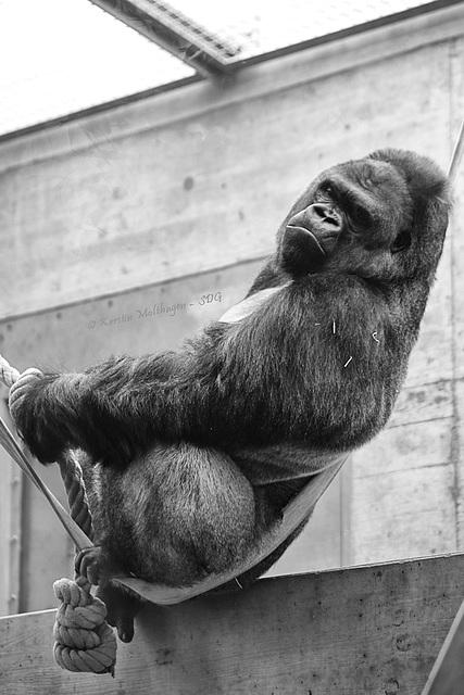 Kibo hängt in den Seilen (Wilhelma)