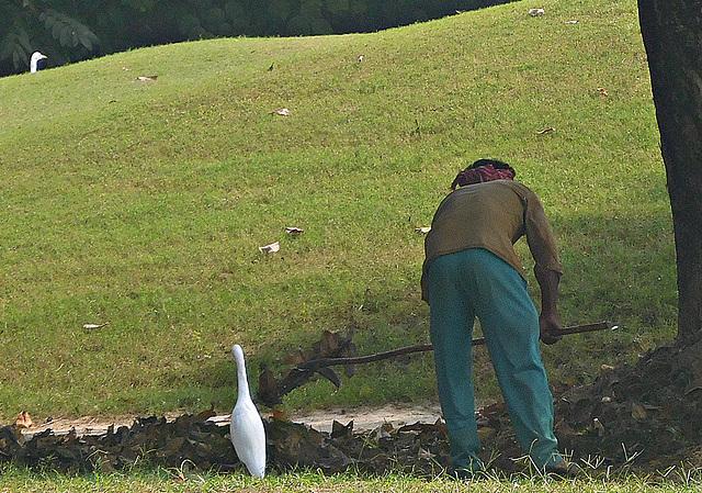 Gardener and egrets