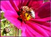 Spätes Bienchen... Late little Bee... ©UdoSm