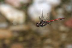 Libellen Große Heidelibelle 29.8.2015