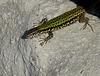 Passau- Wall Lizard