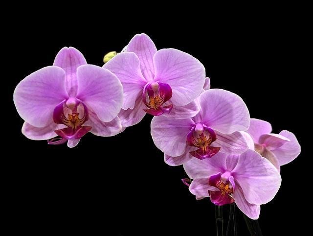 Różowo mi - Orchidea