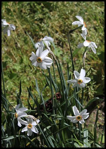 Narcissus poeticus (2)