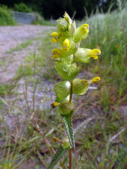 Yellow rattle.  Rhinanthus minor