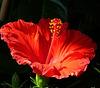 hibiscus rosa-sinensis