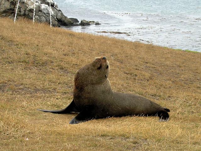 """Leave me alone!"" - fur sea lion at Katiki Point"