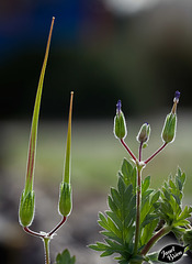 178/366: Red Stem Storksbill Seed Pods (+3 in notes)