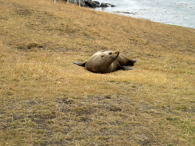 """Hey, who are you?"" - sea lion at Katiki Point"