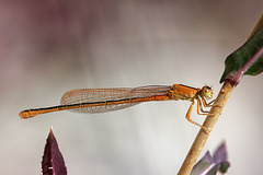 Libellen Kleine Pechlibelle 2.8.2015