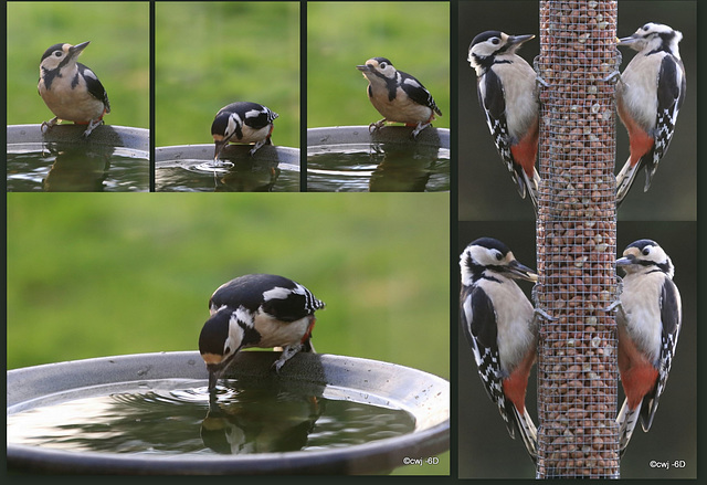 This morning's collage of the Great spotted woodpeckers feeding