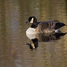 A Canada goose at Burton wetlands