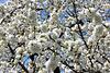 Beginn der Kirschblüte am Bodensee (2Pic in Pic)