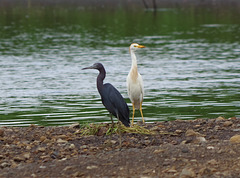 Aigrette bleue - Little Blue Heron