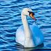 A swan on New Brighton marine lake