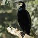 Kormoran - Vogel des Jahres 2010