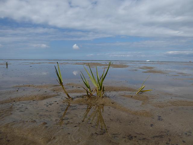 Salzwasserpflanze