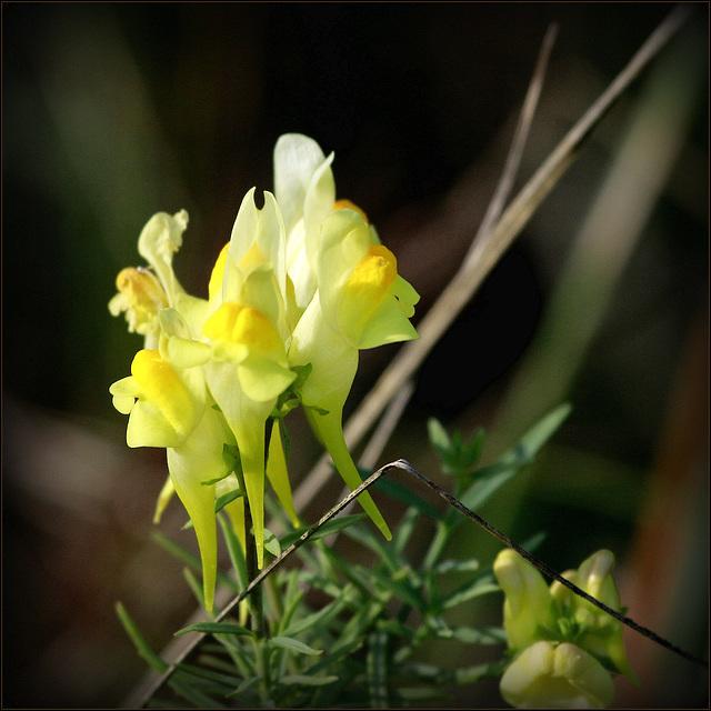 Linaria vulgaris - linaire commune 47333922.c86f573f.640