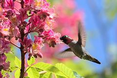 Anna's Hummingbird at Red Horse Chestnut Tree